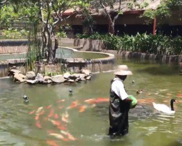 Basta Este Homem Entrar No Lago Para Ser Perseguido Por Dezenas De Peixes 7