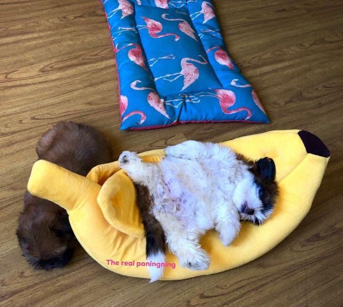 """Cãozinho Dorme Como Se Tivesse Sido """"Desligado""""… e Isso é Tão Fofo! 12"""