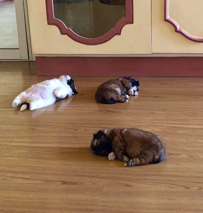 """Cãozinho Dorme Como Se Tivesse Sido """"Desligado""""… e Isso é Tão Fofo! 3"""