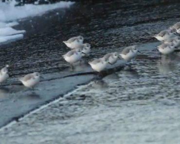 Pequenas Aves São Filmadas a Correr Atrás Das Ondas 9