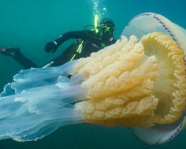 Mergulhadores Encontram Alforreca Gigante Com 1,6m