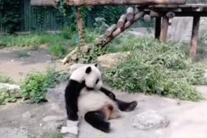 Turistas Atiram Pedras a Panda Gigante Para o Acordar Em Zoo De Pequim 10