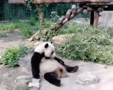 Turistas Atiram Pedras a Panda Gigante Para o Acordar Em Zoo De Pequim 1