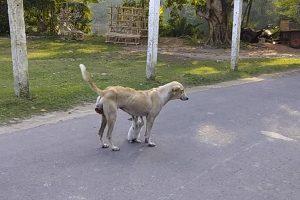 cadela