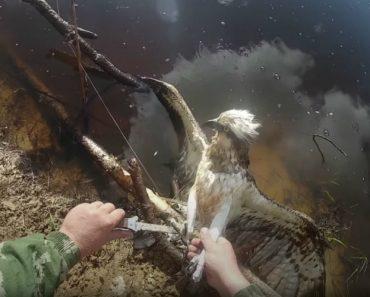 águia-pescadora