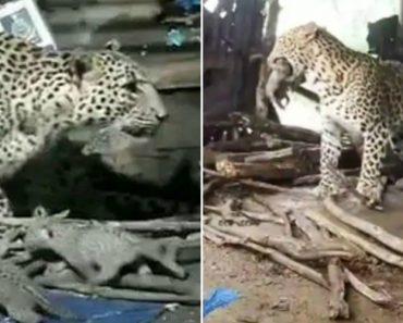mãe leopardo