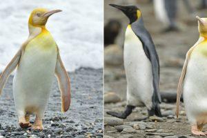 Pinguim-Rei Amarelo